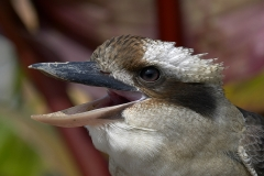 kookaburrah